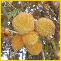 Jual Bibit Tanaman Buah - 0878 55000 800 - Durian 1