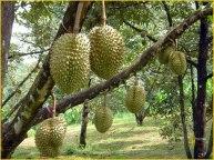 Jual Bibit Tanaman Buah - 0878 55000 800 - Durian 3