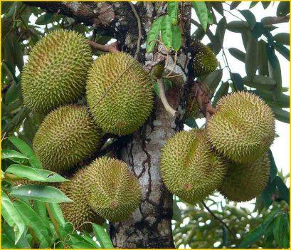 Jual Bibit Tanaman Buah - 0878 55000 800 - Durian 4