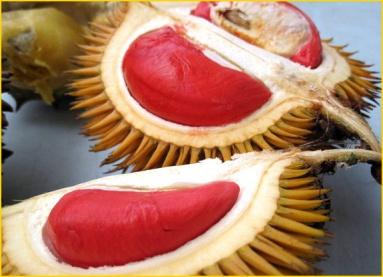 Jual Bibit Tanaman Buah - 0878 55000 800 - Durian 5