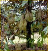 Jual Bibit Tanaman Buah - 0878 55000 800 - Durian 6