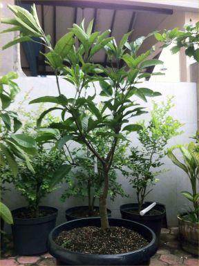 Jual Bibit Tanaman Buah - 0878 55000 800 - Mangga Chokanan P50
