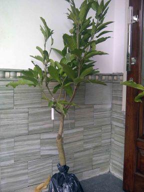 Jual Bibit Tanaman Buah - 0878 55000 800 - Tanaman Buah Dalam Pot 11 - Mangga Chokanan