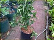 Jual Bibit Tanaman Buah - 0878 55000 800 - Tanaman Buah Dalam Pot 13 - Jeruk Primong P50